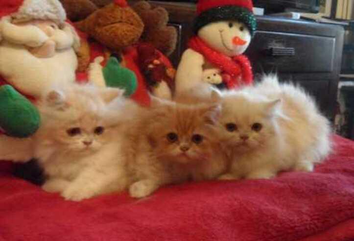 Gratis gattino persiano