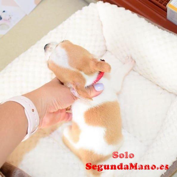 Miniaturas chihuahua