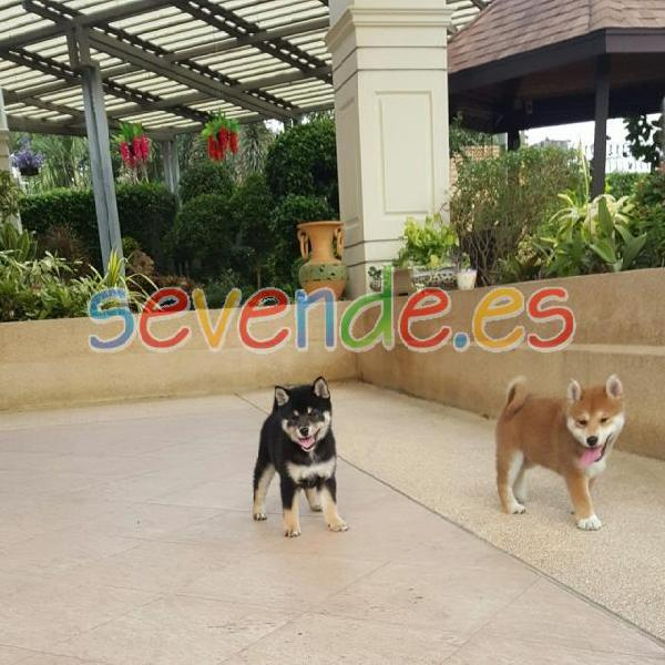 Camada yorkshire terrier