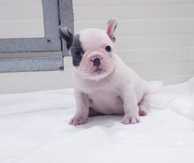 Cachorros de pura raza bulldog francés listos par
