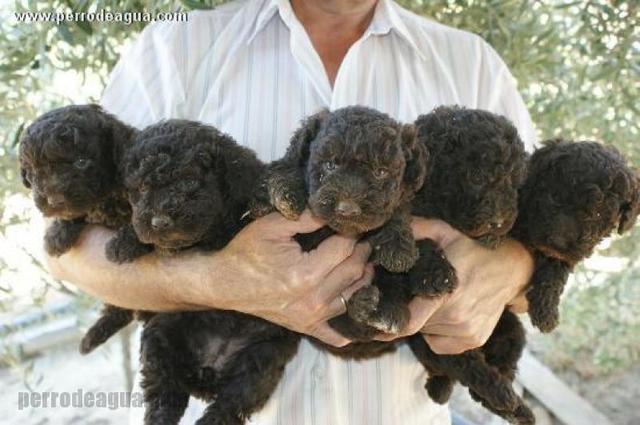 Cachorros de perro de agua español