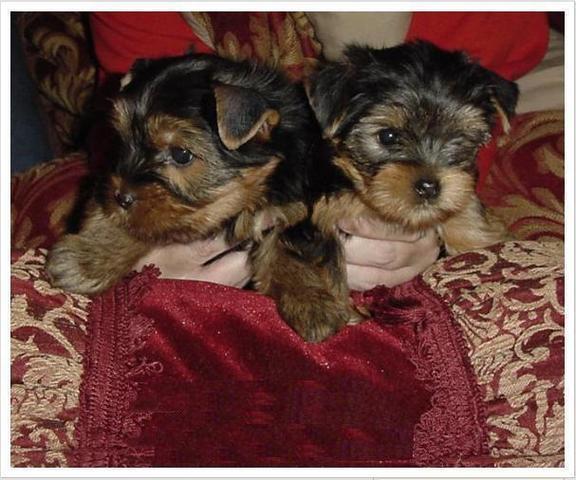Magnífica camada de yorkshire terrier mini de pura raza