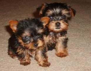 Regalo macho y hembra cachorros yorkshire terrier mini!!