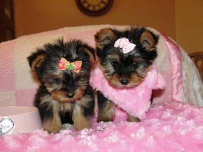 Regalo machos y hembras yorkshire terrier de dos messes.
