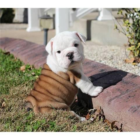 Bulldog english para adoption