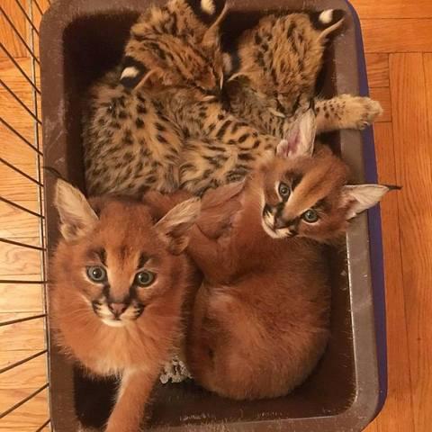 Hogar criado serval y savannah gatitos disponibles.