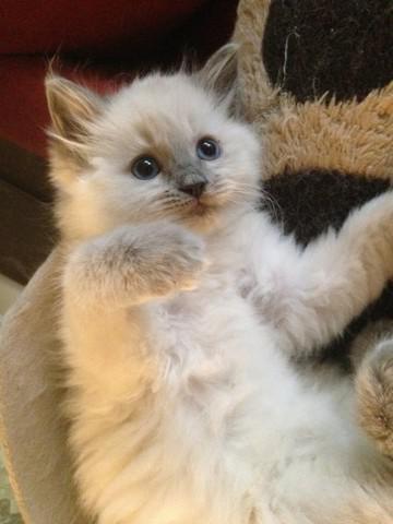 Grandes gatitos de ragdoll de la personalidad