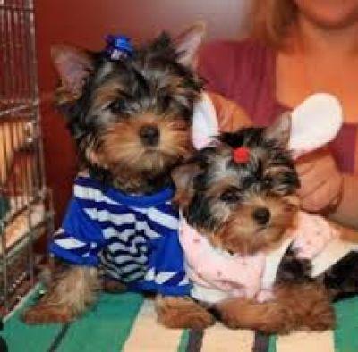 Superior calidad de yorkshire terriers