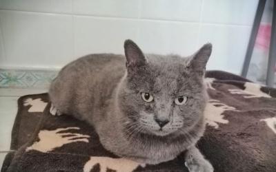 Gato ruso azul en adopción