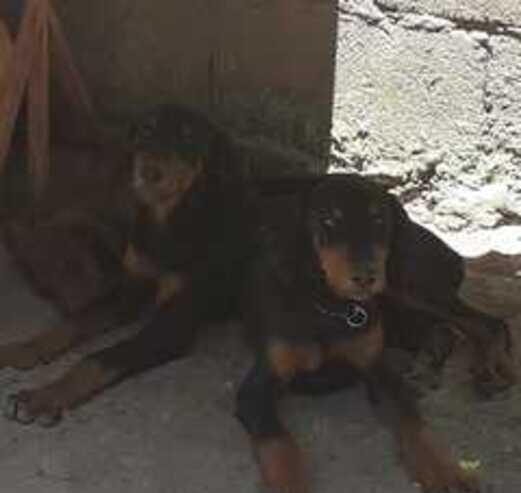 Venta de cachorro doberman