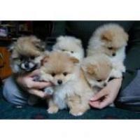 Cachorro pomerania con pedigrí