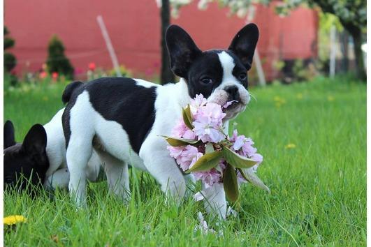 Regalo economicos cachorros bulldog frances,(+34643530225)