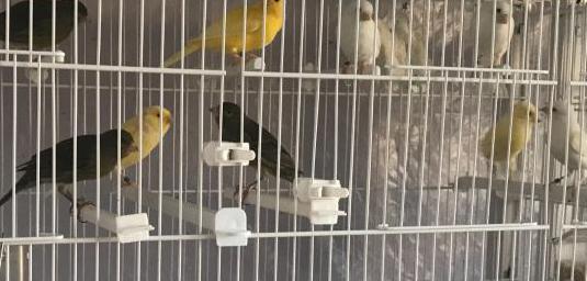 Canarios timbrados machos y hembras