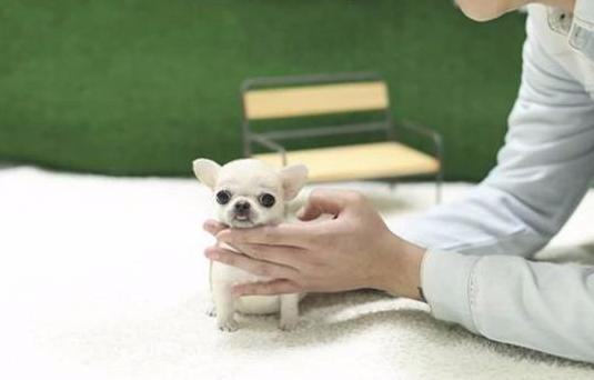 Chihuahuas micro toy super monos