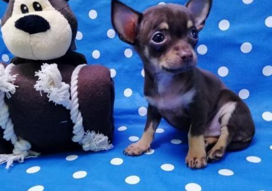 Cachorro chihuahua toy macho barcelona
