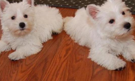Cachorros de westy terrier macho y hembra