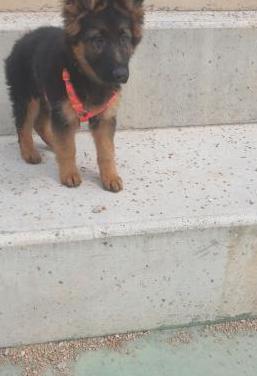 Cachorros pastor alemán pelo largo
