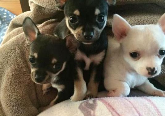 Chihuahua pura raza mini