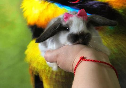 Conejos belier mini lop 689008270 la isleta