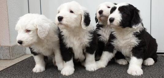 Disponibles cachorros de raza bobtai