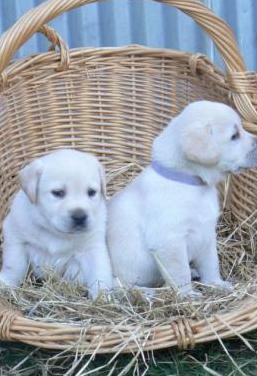 Labrador retriever puppies en en