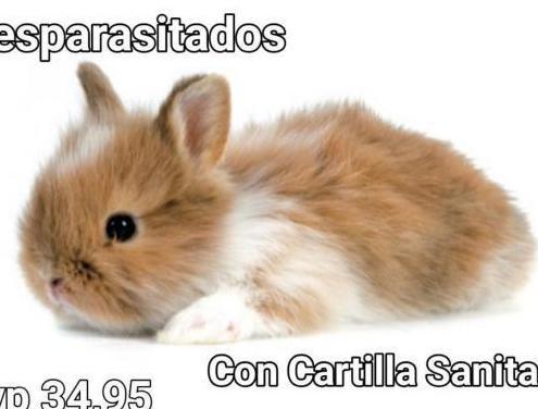 Nueva camada conejos enanos
