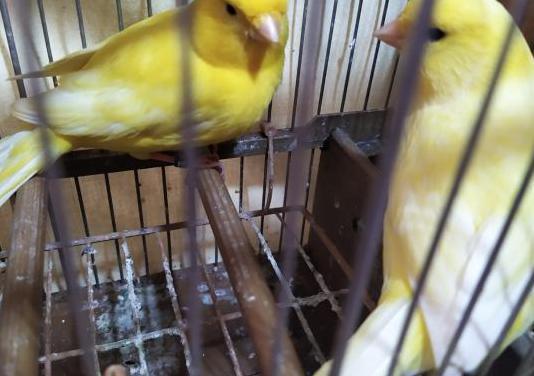 Parejas de canarios para criar ya