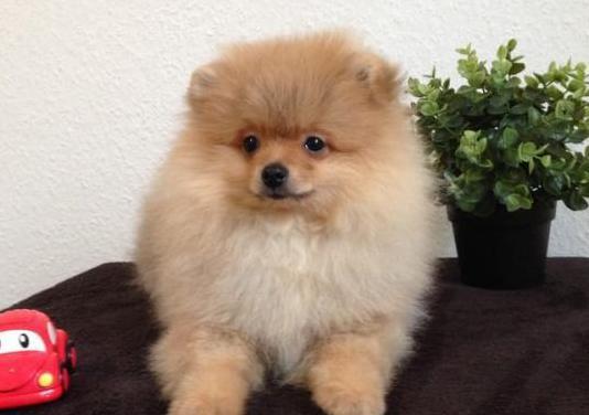 Perrito de raza pomeriana dar en adopción