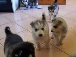 Perritos husky siberianos bien entrenados para adopción