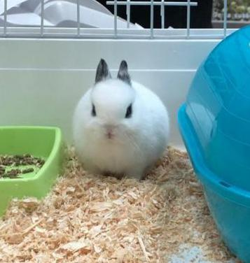 Conejos enanos toy y mini toy