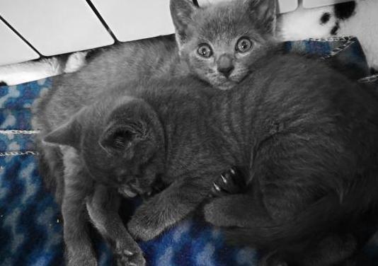 Gatos cachorros de azul ruso