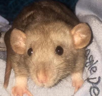 Ratas domésticas varias fases !