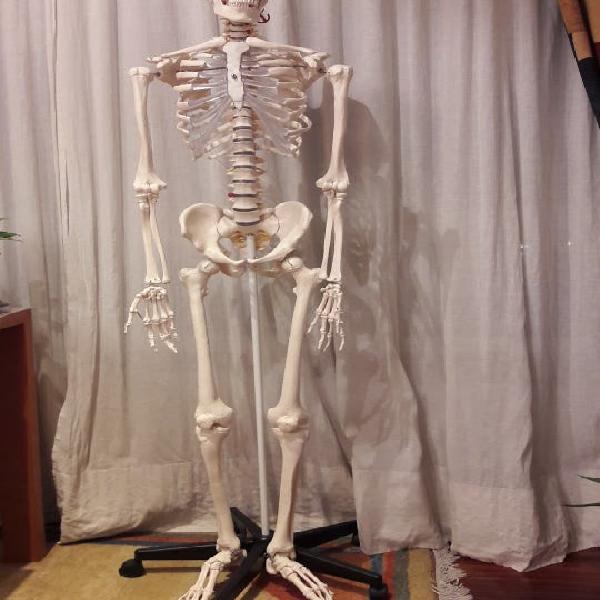 Esqueleto humano médico-anatómico
