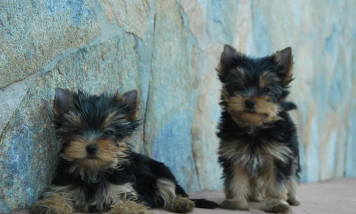 Regalo cachorros toy de yorkshire terrierqs