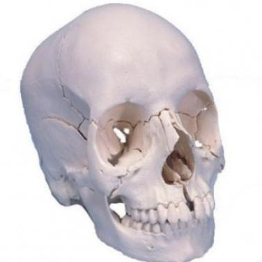Modelo de cráneo desmontable en 22 partes