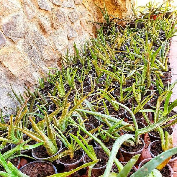 Plantas aloë vera barbadensis