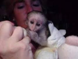 Adorable mono capuchino