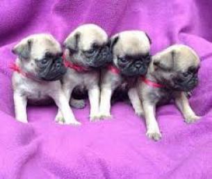 Cachorro de Bulldog Francés de calidad AKC para adopción