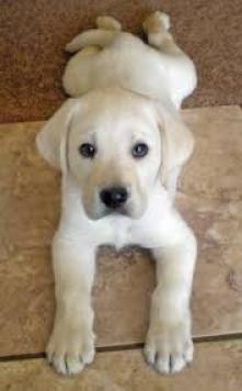Cachorros de labrador dulce Cachorros de labrador dulce