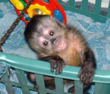 Capuchino hembra linda