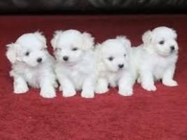 Dos cachorros malteses de primera clase disponibles