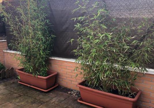 Bambu grande en maceta