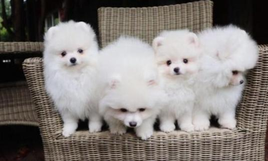 Cachorros nacionales pomeranias