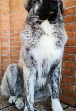 Cachorro pastor caucásico linea pura