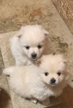Cachorros pomerania para adopción gratis