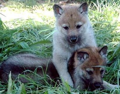 Cachorros de perro lobo