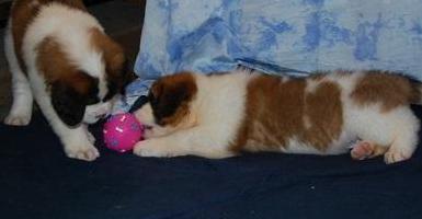 Cachorros de san bernardo registrados chunky