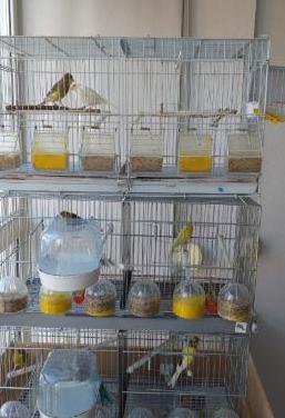Canarios y jaulas