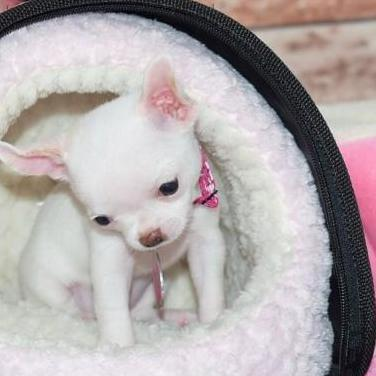 Chihuahua chi toy