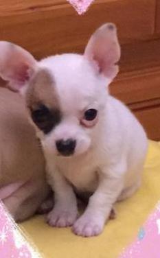 Chihuahuas toys